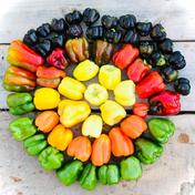 【数量限定】虹色ペッパー美味しさ10倍✨旨パプリカ!旨ピーマン!自然栽培 農薬不使用 固定種 4.5kg(大きなので40個程) 広島県 通販