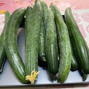 てんとうむしのキュウリ 1.8キロ以上入れてます。 野菜(きゅうり) 通販