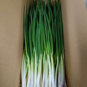 収穫始まりました! 岩子島のわけぎ 3Kg 3Kg 広島県 通販