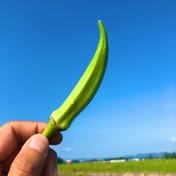 【食べごろサイズ】収穫当日発送!ミナトンのヘルシー角オクラ!【農カード付】 500g以上 農園 陽だまりの芽