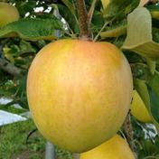 ぐんま名月 5kg【家庭用】 約5kg(12個~18個) 果物 通販