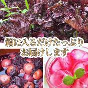 【期間限定】3.5kg✨農薬不使用の赤紫蘇!3キロ以上入るだけお包みします!【残りわずか】自然栽培のおいしい紫蘇!自然農法 3.5キロほど 広島県 通販