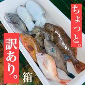 ちょっと。【訳あり】 瀬戸内鮮魚  詰め合わせ  お試し  フードロス お中元 今治  愛媛 入るほど 魚介類(セット・詰め合わせ) 通販