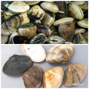 治吉水産 食べ比べセット 特大はまぐり 小玉貝各2キロ 特大はまぐり 小玉貝各2キロセット