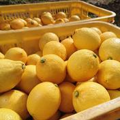 瀬戸内の恵み! 瀬戸田レモン 5kg 5kg 広島県 通販