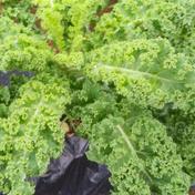 こむぎ屋工房 恭農園 栄養価の高い!フリルケール・ヴェルデとロッソ(1キロ) 1キロ