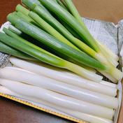 池ちゃん農園の白ネギ 約1.0kg  10本 送料込み 広島県 通販