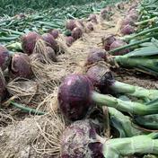 鮮やか彩り5kgセット🧅新玉ねぎ3kg とレッドオニオン2kgの今だけの食べ比べセット🧅 彩り5kg 野菜(玉ねぎ) 通販