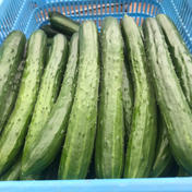 新鮮きゅうりAL品 大きくて太く食べ応えあり 朝採り野菜 3kg 福島県 通販