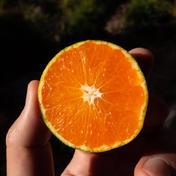 希少みかん!和歌山オリジナル品種「YN26」 3kg 果物 通販