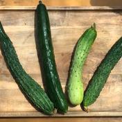 農薬・化学肥料不使用のきゅうりミックス2kg🥒 2kg 野菜(きゅうり) 通販