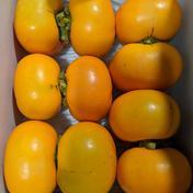 小山果樹園 秋の味覚‼ 家庭用種なし柿(お試しサイズ)1.5kg(10個前後入り) 1.5kg箱(10個前後入り)