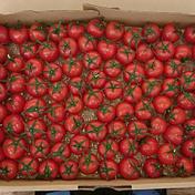 【訳あり 限定】小田原北条トマト 1kg 1.0kg 神奈川県 通販