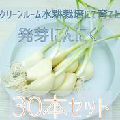 揚げてホクホク!においにくい!【岐阜県産】 発芽にんにく 30本セット 1set(30個)  野菜(にんにく) 通販