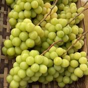 山梨県産 シャインマスカット 1.3k 2~3房  1.3kg 果物(ぶどう) 通販