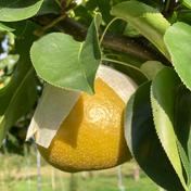 小玉サイズ、大きさ不揃い 甘さが自慢です。大天梨 3.5kg〜4kg 果物や野菜などのお取り寄せ宅配食材通販産地直送アウル