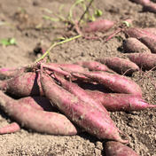 【11月発送予約品!】自然栽培べっぴんやさいのさつまいも食べ比べセット(約2kg入り) サイズ混合シルクスイート約1kg、紅はるか約0.5kg、ハロウィンスイート約0.5kg 島根県 通販
