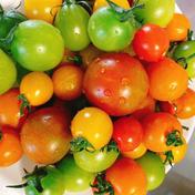 【夏休み限定!!送料さらに値引き!!】カラフルミニトマトのぐちふぁーむ安曇野1キロ 1キロ のぐちファーム