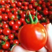 貴重!【自然栽培】ミニトマト(3kg)クール便 3kg 野菜(トマト) 通販