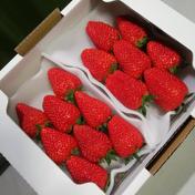 きらぴ香 完熟大粒イチゴ 290グラム×2パック 果物(いちご) 通販