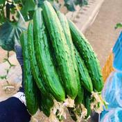 とってもみずみずしい!北海道産きゅうり3k 3キロ(30本前後) 野菜(きゅうり) 通販