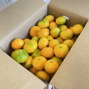 はまださんちの極早生みかん 5キロ箱家庭用(総重量4.9キロ) 4.5キロ 果物や野菜などのお取り寄せ宅配食材通販産地直送アウル