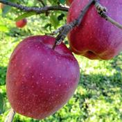 【先行予約】昔懐かしのりんご 🍎 スターキング 🍎 2.5kg 青森県 通販