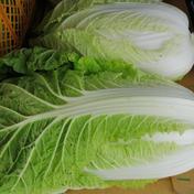 キャベツ、白菜コンビセット!【なべくら高原産】 10kg以内 果物や野菜などのお取り寄せ宅配食材通販産地直送アウル
