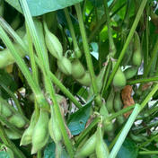 作州黒の枝豆 1kg 果物や野菜などのお取り寄せ宅配食材通販産地直送アウル
