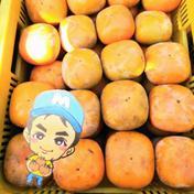 和歌山県紀の川市産 まーくん家のたねなし柿 お試し2キロ箱(箱込み) 果物(柿) 通販