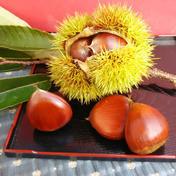 山猫園の大粒生栗 1kg 1kg 果物(栗) 通販