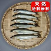 友釣り天然鮎 加茂川 愛媛県西条市 6匹 (17~20cm) 愛媛県 通販