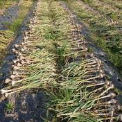 もり自然農園の無農薬にんにく 約2kg(約20~30個位) 愛媛県 通販
