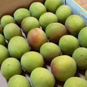梅酒や梅シロップに♪『紀州の青梅』【10kg】 10kg(箱込み) 果物(その他果物) 通販