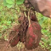 【B級品】無農薬さつまいも(ハロウィンスイート)3kg 3kg 千葉県 通販