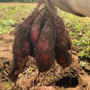 【B級品】無農薬さつまいも(紅はるか)5kg 5kg 千葉県 通販