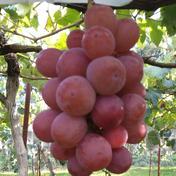 山形県産クイーンニーナ 2房  約1キロ前後 果物(ぶどう) 通販