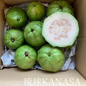無農薬グァバ(白) 1.5kg 果物(その他果物) 通販