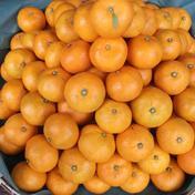 長崎県産 訳あり早生みかん10kg 10kg 果物(みかん) 通販