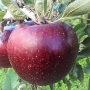 【訳あり品】秋映 約3kg 8~12個 信州りんご 約3kg 8~12個 遠山農園