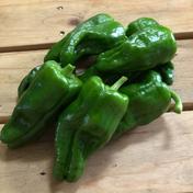 【新加入!!旨辛な刺激】自然栽培べっぴんやさいのパドロン(約800g) 約800g 野菜(その他野菜) 通販