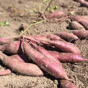 【11月発送予約品!ねっとり系】自然栽培べっぴんやさいのさつまいも(シルクスイート)約2kg サイズ混合約2kg 島根県 通販