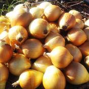 やさしい風の肥料・農薬不使用 自然栽培玉ねぎ 5kg 果物や野菜などのお取り寄せ宅配食材通販産地直送アウル