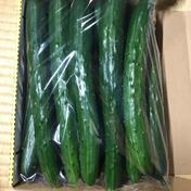 お試し 新鮮きゅうりAL品 大きくて太く食べ応えあり 朝採り野菜 1kg 福島県 通販