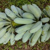 自然栽培 幻のアイスクリームブルーバナナ 激レア南国フルーツ果物 デザート 国産バナナ 農薬不使用 1.5㎏相当 鹿児島県 通販
