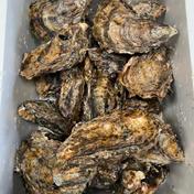 【相生夏蠣】夏に食べる牡蠣!生でも美味しい!!15個 相生夏蠣15個セット 魚介類(牡蠣) 通販