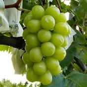 信州産シャインマスカット約1.8kg3~5房 約1.8kg(3~5房) 果物や野菜などのお取り寄せ宅配食材通販産地直送アウル