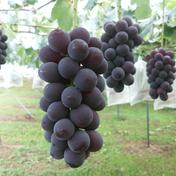マルダイ大場農園のぶどう 種なし巨峰3房入り(約1.6kg) 約1.6kg 果物(ぶどう) 通販