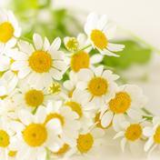 【初登場!】カモミールのような心和らぐ香り♪小さいマーガレットのような可憐なお花♪マトリカリア20本 20本 その他(花・植物) 通販