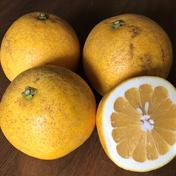 【訳アリ】農薬不使用 安政柑 2㎏ 安政柑 2㎏ 果物(柑橘類) 通販